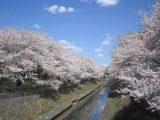 4/1 善福寺川緑地お花見